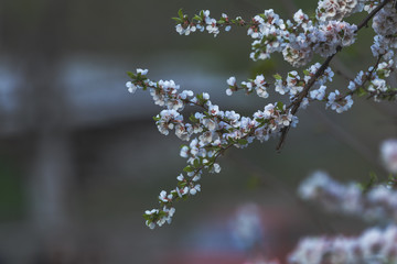 Close up of White Blossom Cherry Tree Branch