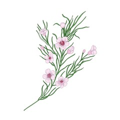 Blooming pink Geraldton wax flowers isolated on white background. Elegant natural drawing of gorgeous cultivated flowering plant. Decorative floral design element. Realistic vector illustration.