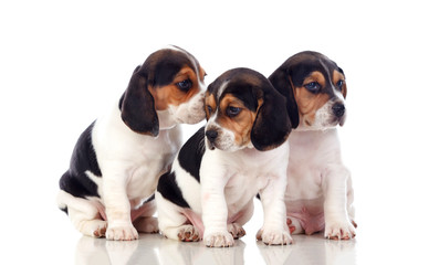 Three beautiful beagle puppies