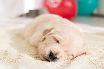 Close-up Image of Cute beige golden retriever puppy with sleeping on the blanket