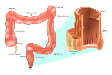Internal anal sphincter. Rectum, anal canal anatomy and Large intestine