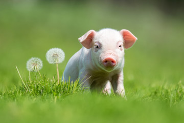 Search photos Category Animals > Mammals > Pigs