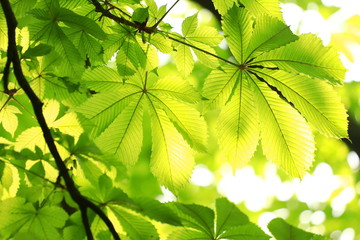 Green chestnut leaves on tree