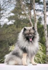 Keeshond dog outside. Big spitz in nature.