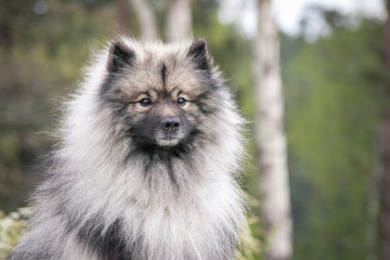 Keeshond dog outside. Big spitz in nature.