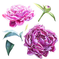 Set watercolor elements of pink peonies. Collection garden flowers. Watercolor illustration peony isolated on white background.