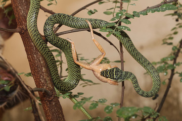 The green snake eat frog on tree at home