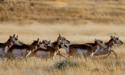 Pronghorn Running