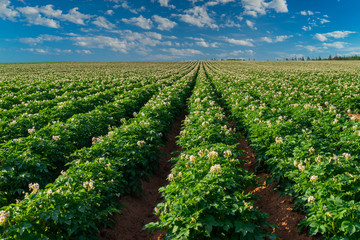 Potatoes growing in a rural Prince Edward Island, Canada, field.
