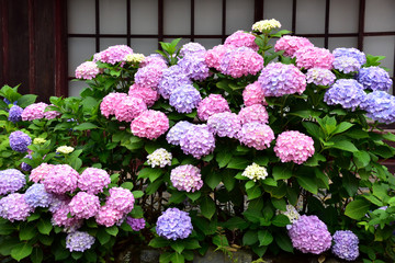 格子戸と紫陽花の花 熊川宿