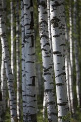 birch forest in summer morning