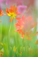Tulips in the garden in springtime