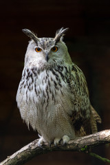Siberian eagle owl, bubo bubo sibiricus. The biggest owl in the world