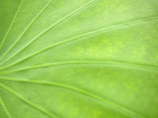 lotus leaf texture close up