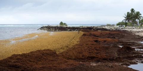 Marée brune, décomposition des bancs d'algues sargasses sur le litoral des antilles, de Guadeloupe et de Martinique. Catastrophe naturelle dans les caraïbes.