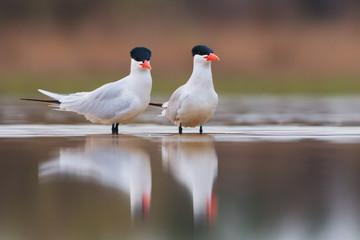 Caspian terns - Hydroprogne caspia