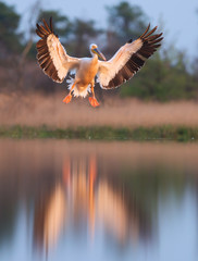 Great white pelican in flight. Pelecanus onocrotalus
