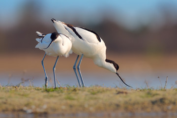 Couple of Pied avocets (Recurvirostra avosetta). Kinburn peninsula, Ukraine