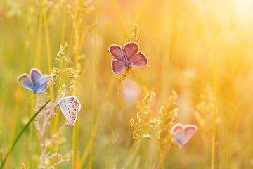 Wild meadow grass and many butterflies in nature macro shot