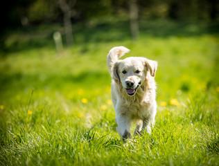 Golden Retriever in the field