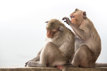 Monkey couple sitting on the concrete and passionate, feeling in love.