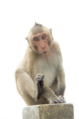 Monkey of portrait isolated white background.