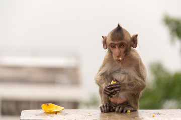 baby monkey sitting and eating banana on the concrete cement.