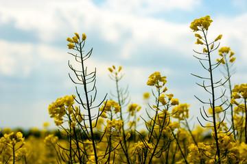 yellow rape field an blurry sky