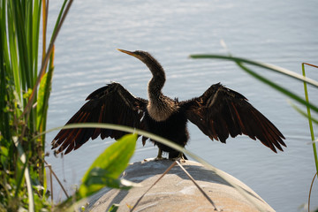 female anhinga warms herself on a cold day