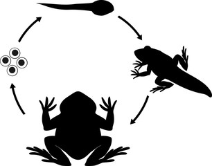 Life cycle of frog. Sequence of stages of development of frog from egg to adult animal