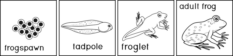 Coloring page. Life cycle of frog with titles