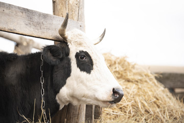 Black cow chained outdoor