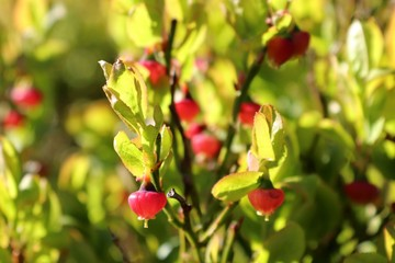 closeup of wild blueberries, unripe in springtime, green pink in a stage of maturation
