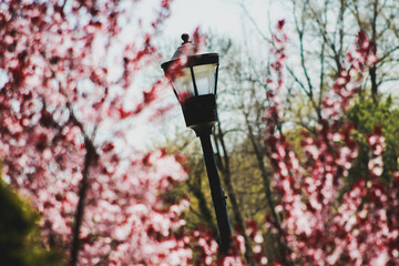 Lamp amid the Blossoms