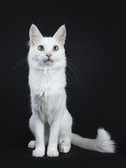 Solid white Turkish Angora cat with green eyes sitting facing front with tail beside body isolated on black background looking beside camera