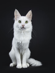Solid white Turkish Angora cat with green eyes sitting facing front isolated on black background looking directly at camera
