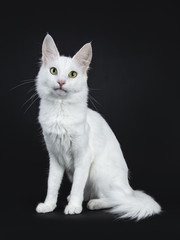 Solid white Turkish Angora cat with green eyes sitting side ways isolated on black background looking at camera