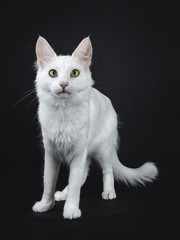 Solid white Turkish Angora cat with green eyes standing slightly side ways isolated on black background looking  at camera