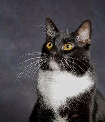 "Portrait of Black & White Cat on Dark Background / Portrait of a ""Tuxedo"" cat with attentive expression on gray background."