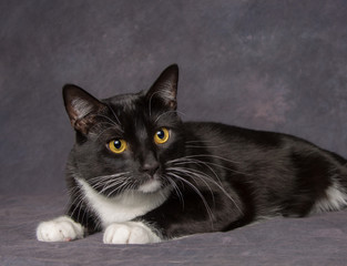 "Portrait of Black & White Cat on Gray Background / Pet portrait of a handsome black & white ""Tuxedo"" cat with attentive look."