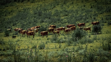 A Herd of Cows in a Green Field