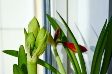 Potted amaryllis houseplants with flower buds growing on window sill in winter, gorgeous bulbous plants for interior decoration and bouquets