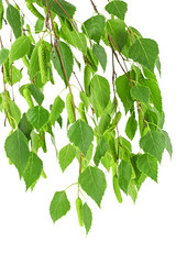 Young branch of birch with buds and leaves, isolated on white background.