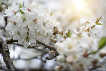 Bee collecting honey on the blossom of apple, plum or cherry in the sunny spring