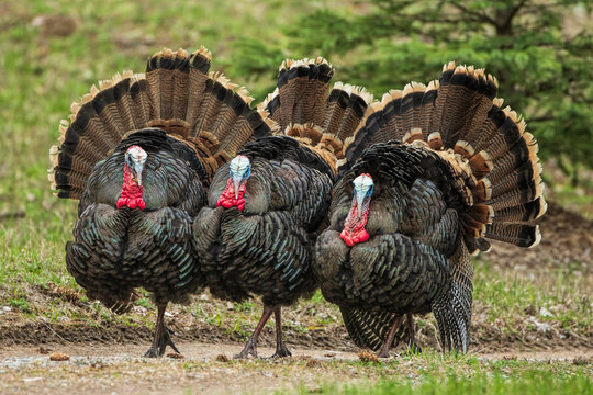 Three  Turkeys (jakes) Strutting