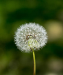 flower of dandelions