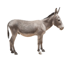 Foto op Plexiglas Ezel Donkey isolated a on white background
