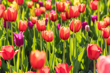 Beautiful spring blooming tulips on a garden bed.