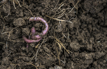 on the ground with roots two worms creep loosely weave for fishing tackle