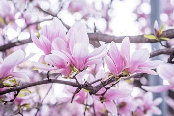 magnolia blooms spring
